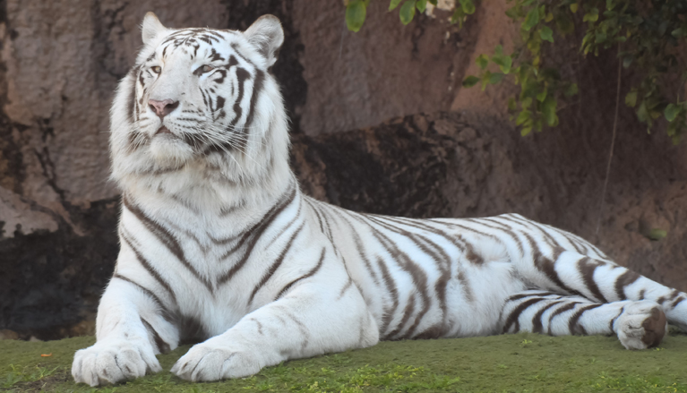 White tiger at Carolina Tiger Rescue