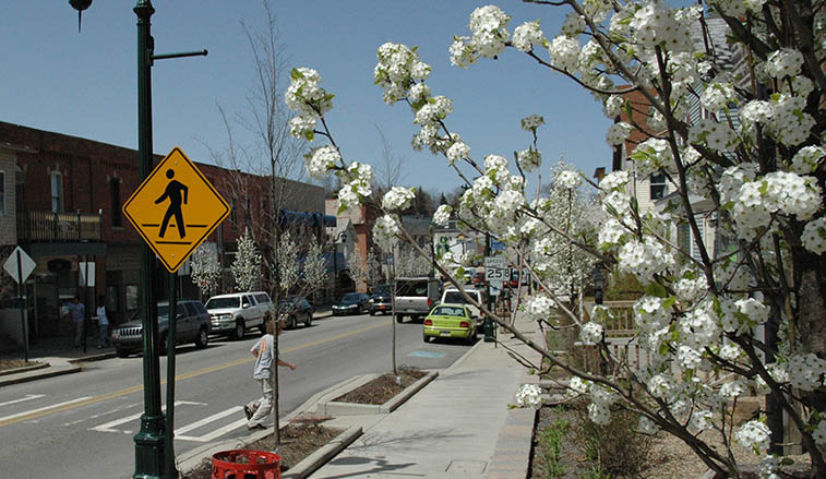 Cleveland Select Pear trees in bloom