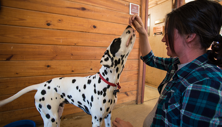 Woman playing with dalmation